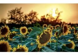 向日葵,阳光,壁纸,花卉,背景虚化122591