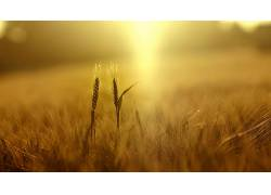 小麦,植物,壁纸,领域,景深,黄色,小穗,阳光247121