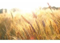 小麦,阳光,植物26390