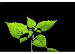 树叶,植物155542