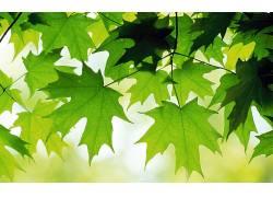树叶,植物23818