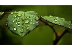 树叶,水滴,宏,植物,科8505
