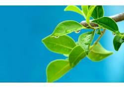 树叶,水滴,植物,蓝色背景,宏9262
