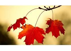 树叶,秋季,壁纸,植物116065
