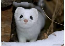白鼬,国家地理,动物,雪61045图片