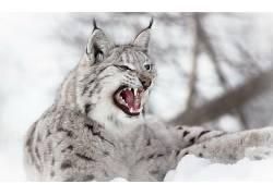 动物,猞猁,性质,雪,野生动物,景深,野猫,张开嘴269475图片