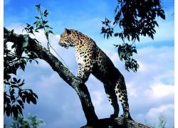 豹,动物,性质,豹(动物)152867图片