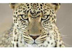 豹,动物,特写,豹(动物)95965图片