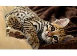 动物,猫的,小动物,豹(动物)35561图片