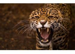 豹,动物,豹(动物)206616图片