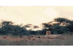 豹,大猫,动物,性质,豹(动物)194895图片