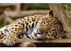 豹,豹(动物)122917图片