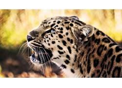 动物,猫的,性质,豹(动物)50967图片