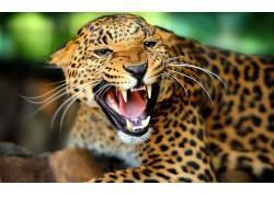 豹,豹(动物)124517图片