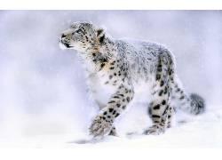动物,猫的,性质,豹(动物)50970图片