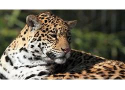 豹,豹(动物)138788图片