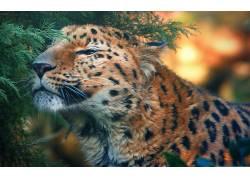 豹,豹(动物)153872图片