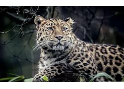 豹,豹(动物)160520图片