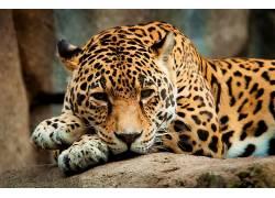 豹,豹(动物)160637图片