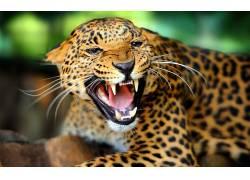 豹,豹(动物)183210图片