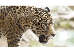 豹,豹(动物)183288图片