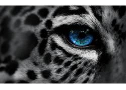 动物,豹,蓝眼睛,选择性着色,数字艺术,豹(动物)136575图片