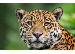 豹(动物),动物,大猫181861图片