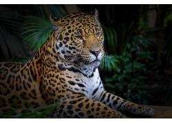 豹(动物),动物,大猫351347图片