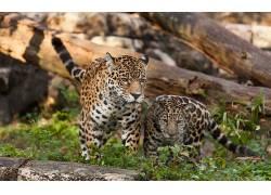 豹(动物),豹,动物78672图片