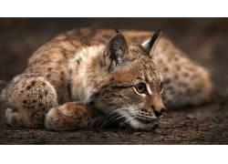 动物,猫,猞猁212921图片