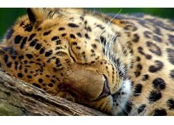 动物,睡眠,闭着眼睛,豹(动物)180349图片