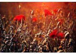 红,红色的花朵,壁纸,植物571559