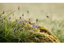 宏,植物,苔藓,蓝色的花朵,壁纸,霜350585