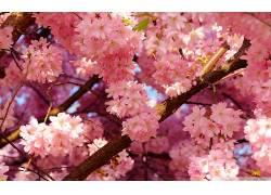 弹簧,花卉,樱花,粉色的花朵,壁纸170630