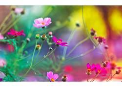 花卉,粉色的花朵,壁纸,景深,宇宙(花),植物100197