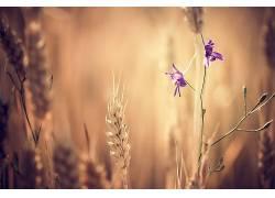 花卉,小穗,紫色的花朵,壁纸,植物105986