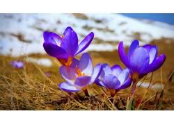 番红花,紫色的花朵,壁纸,花卉174181