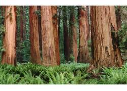 壁纸,树木,森林,植物,蕨类植物,树叶,红木,红杉279752
