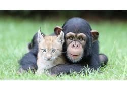 黑猩猩,猞猁,动物,性质,小动物,面对,看着观众,草272690图片
