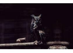 猫头鹰,灯火,休息,看着观众,木,摄影,动物,鸟类8446图片
