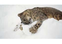 动物,雪,拥抱,雪豹,豹(动物)274783图片