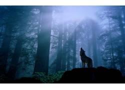树林里的狼