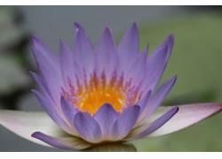 莲花,壁纸,花卉,摄影,紫色的花朵244762