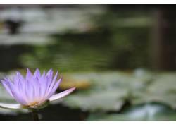 莲花,水,模糊,摄影,花卉,紫色的花朵244767