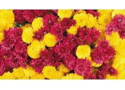 菊花,花卉,华美,红色的花朵,黄色的花朵,植物60456