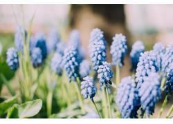 葡萄,植物,蓝色,花卉,弹簧,壁纸,背景虚化,蓝色的花朵207354