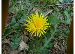 蒲公英,花卉,黄色的花朵200170