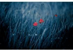 蓝色,红,红色的花朵,植物,花卉569780