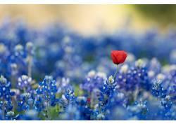 蓝色,红色的花朵,蓝色的花朵,花卉,植物,bluebonnets359536