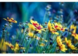 蓝色,黄色,花卉,黄色的花朵555380
